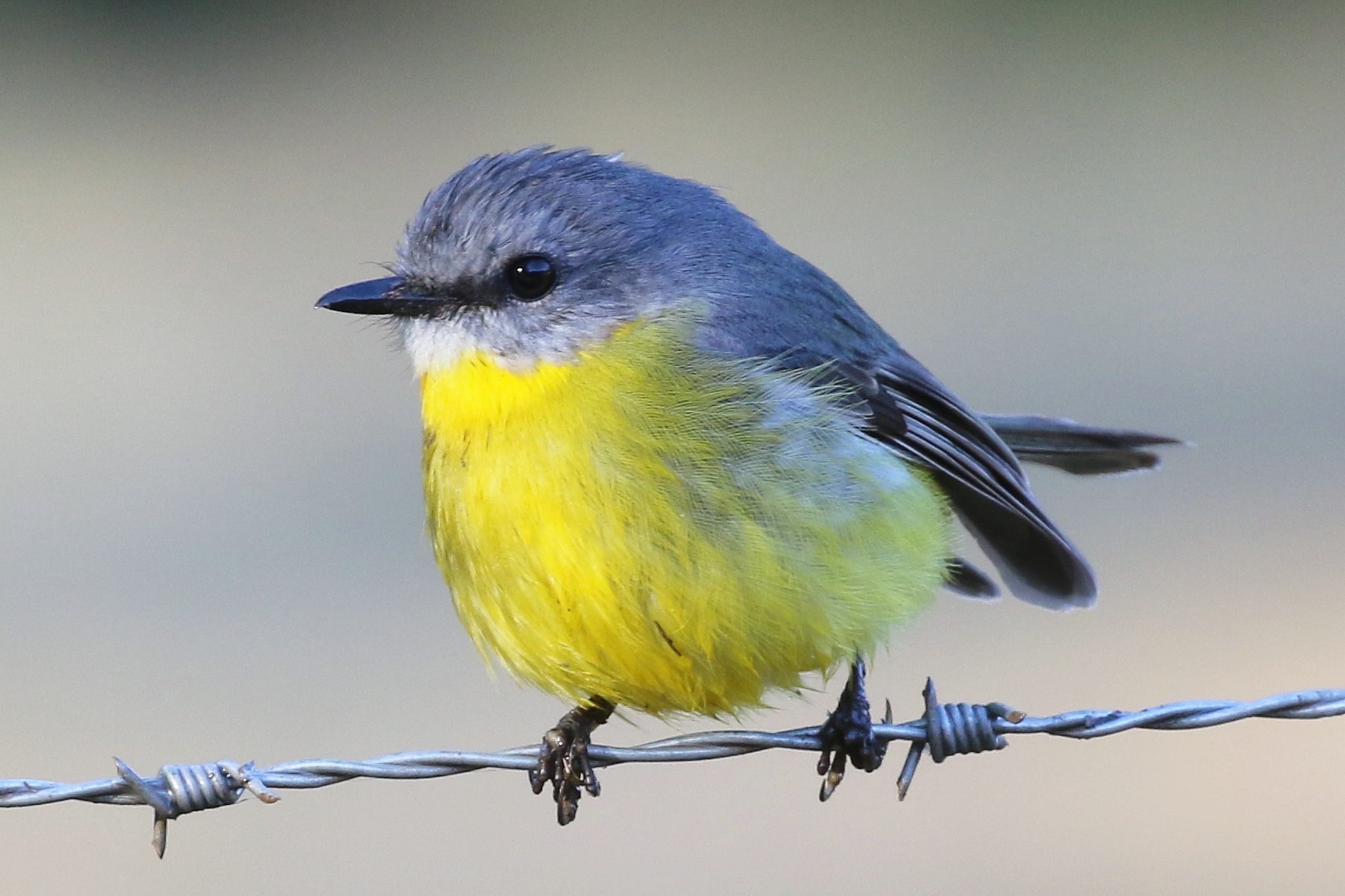 Eastern Yellow Robins (16 cm) are friendly birds found in Australia's eastern states. The male and female have similar colouring.