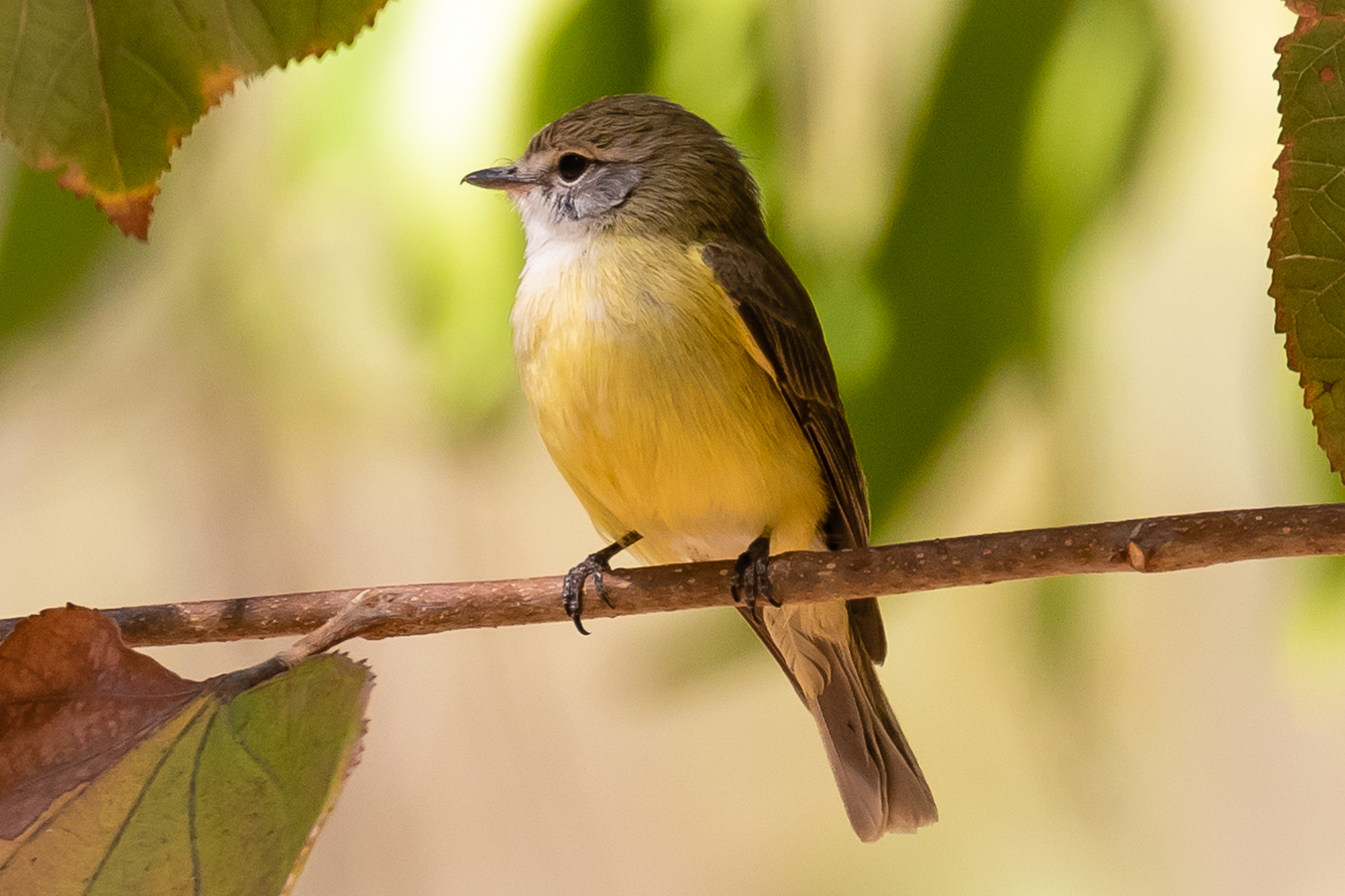 "The Lemon-bellied Flycatcher (or Flyrobin) (14 cm) is found in tropical woodlands across Australia's far north. It is not a ""true"" flycatcher but does feed on insects in flight and down to ground level."