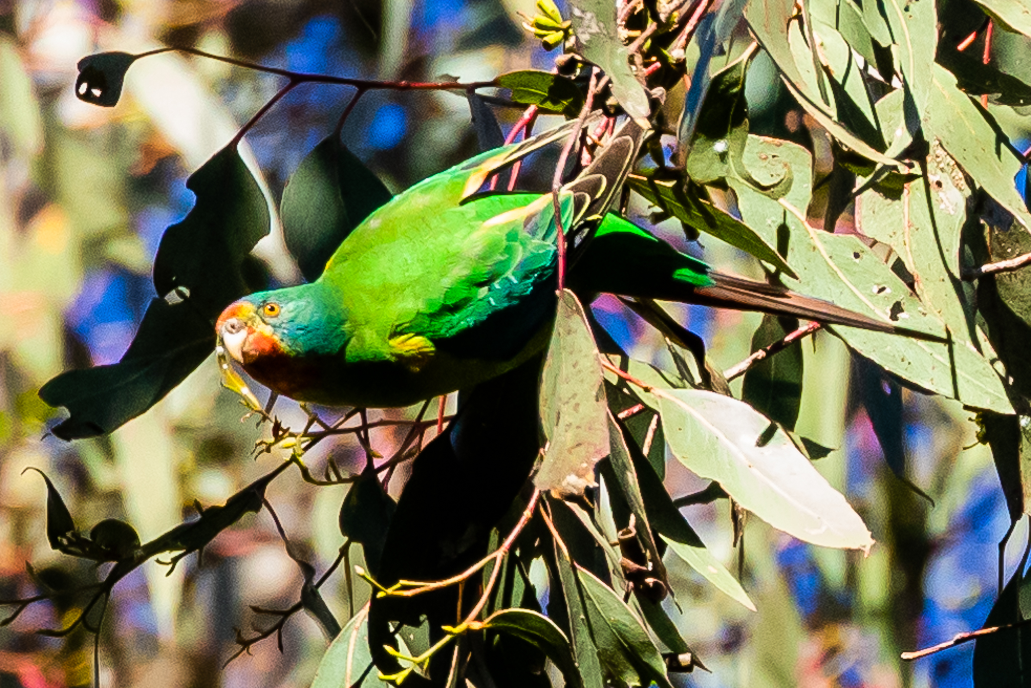 The Swift Parrot (26 cm) is named for its swift flight.They feed on nectar and lerps high in the canopy of eucalypts. Swift parrots breed in Tasmania and migrate north to Australia's south east region. Forest clearing has caused declines in numbers and it is now listed as an endangered species.