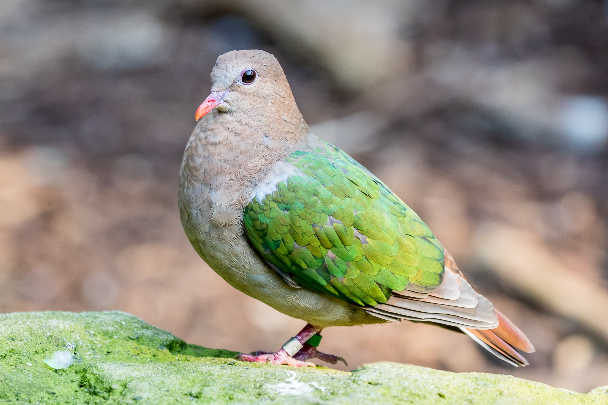 The Emerald Dove (27 cm) is widespread across Southeast Asia and is found in the forests of northern and eastern Australia. They eat seeds and fruit, feeding on the ground.