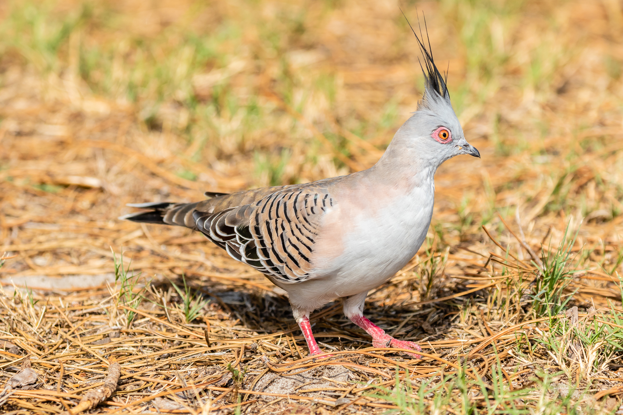 Another widespread bird is the Crested Pigeon (35 cm) seen in woodland, on farms and often in the city. They are seed eaters feeding on the ground, sometimes taking insects when available.