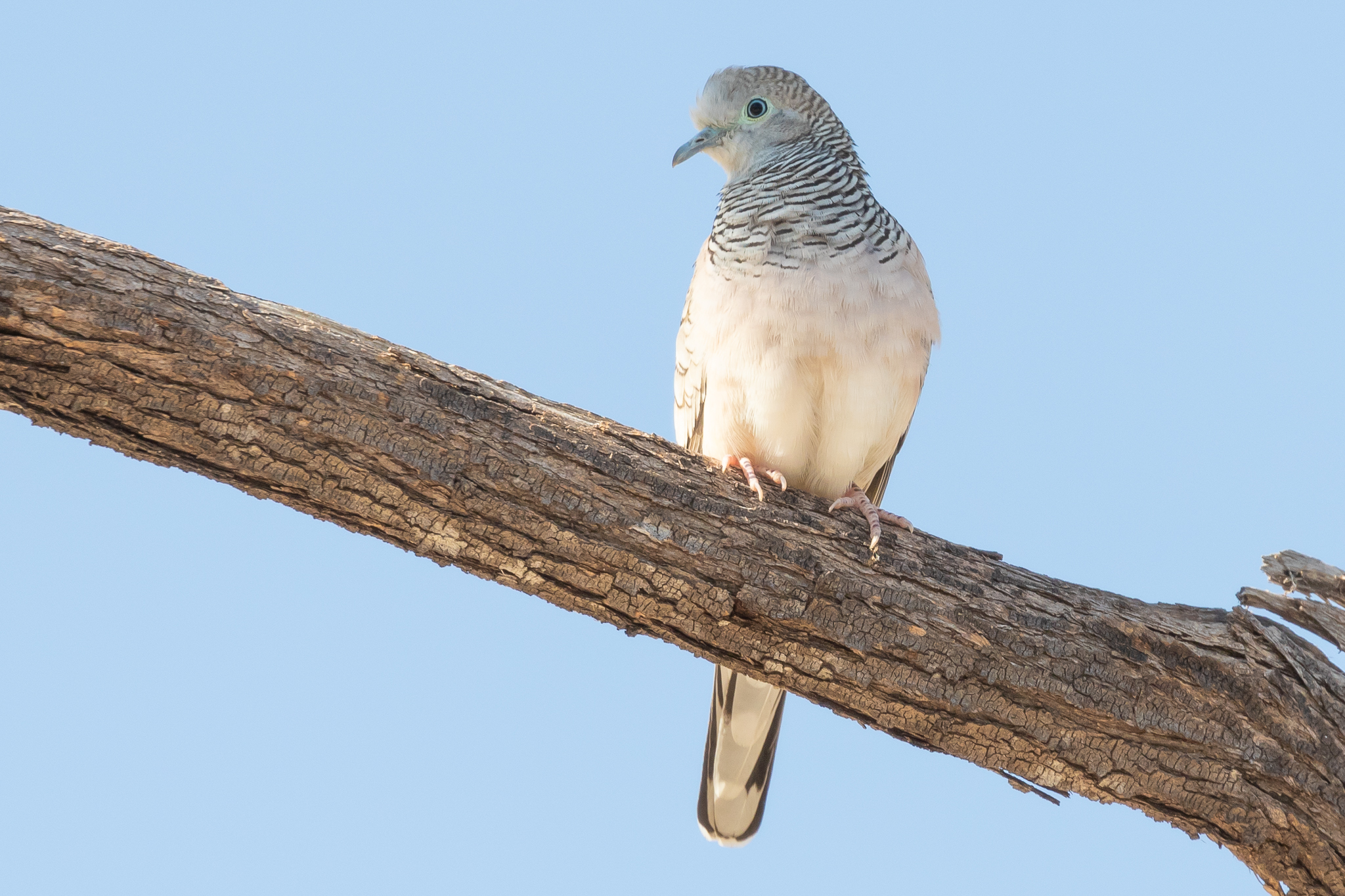The Peaceful Dove (24 cm) inhabits the open woodlands across most of Australia except in the south-west and Tasmania. They feed from the ground on seeds and insects.