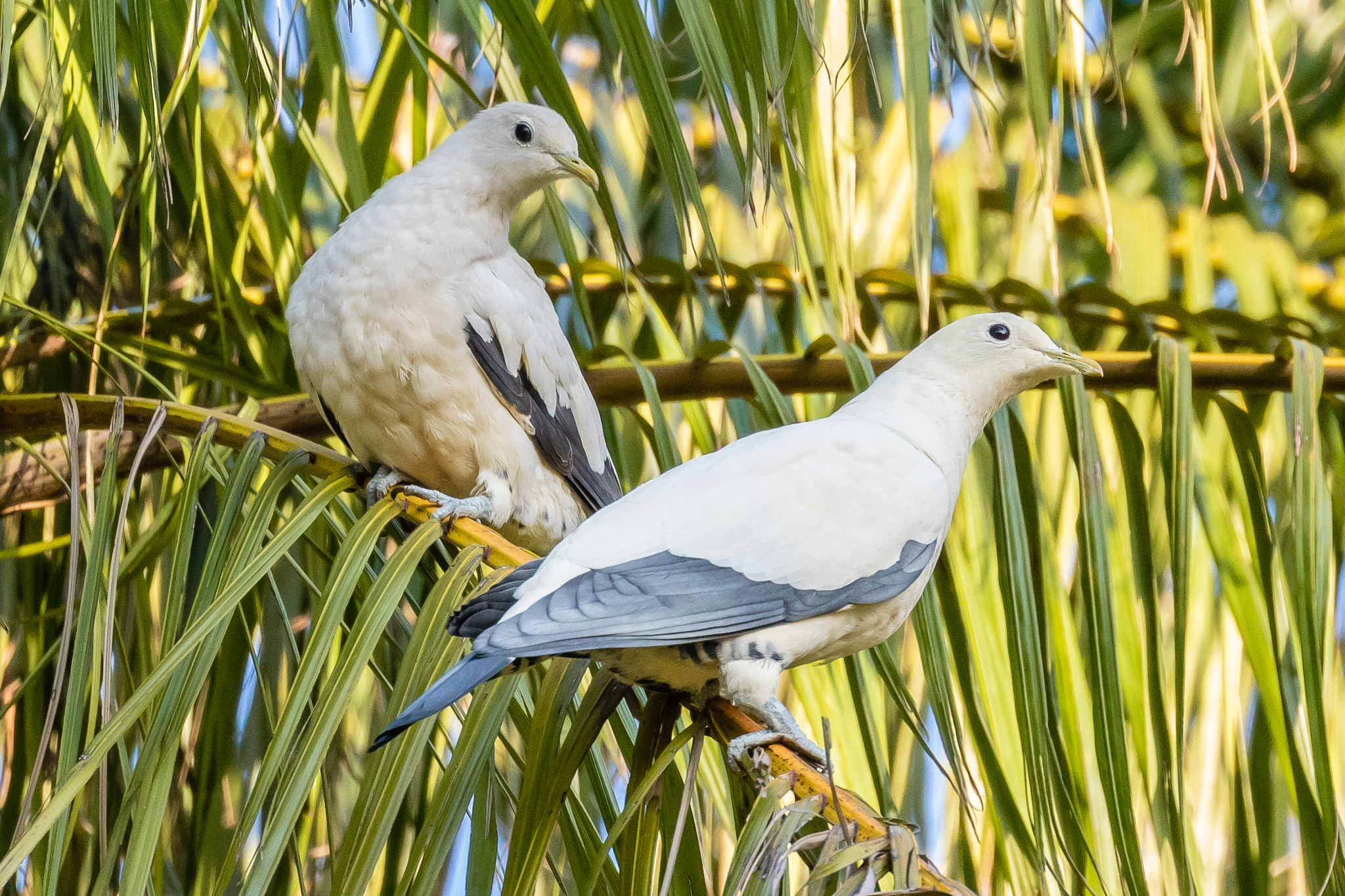 Pied Imperial Pigeons (42 cm) are distributed through Southeast Asia. They are found in Australia's north, breeding during the spring and summer, many migrating to New Guinea for the winter. They feed in trees on fruit.