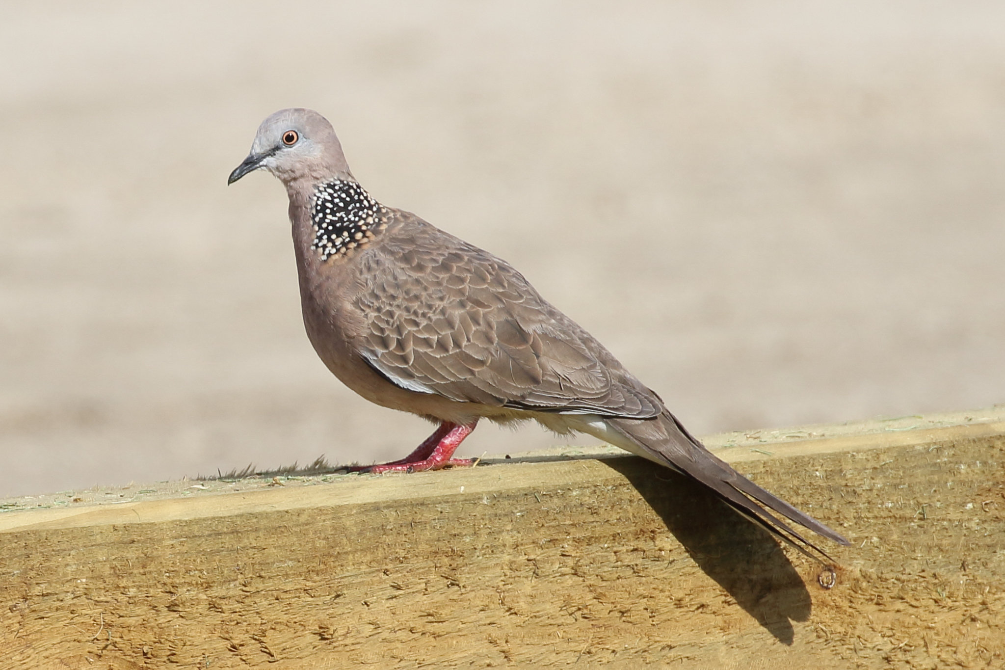 The Spotted Turtle-Dove (32 cm) is an introduced bird seen in our cities and country towns. They feed on the ground on grains, seeds and food scraps.