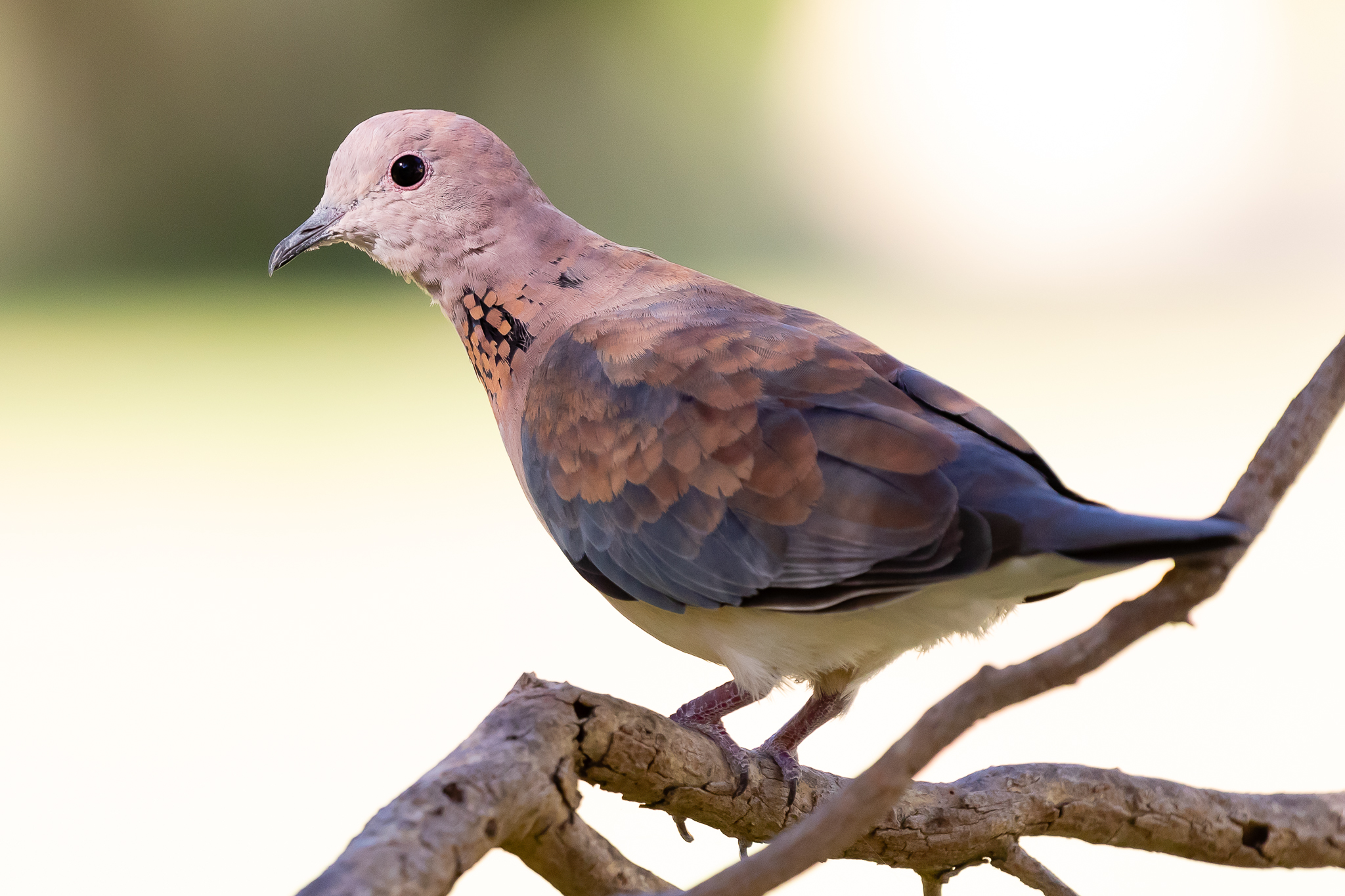 This Laughing Turtle-Dove (26 cm) was seen in Perth where it was introduced in the 1890's. They feed on grain, seeds and food scraps.