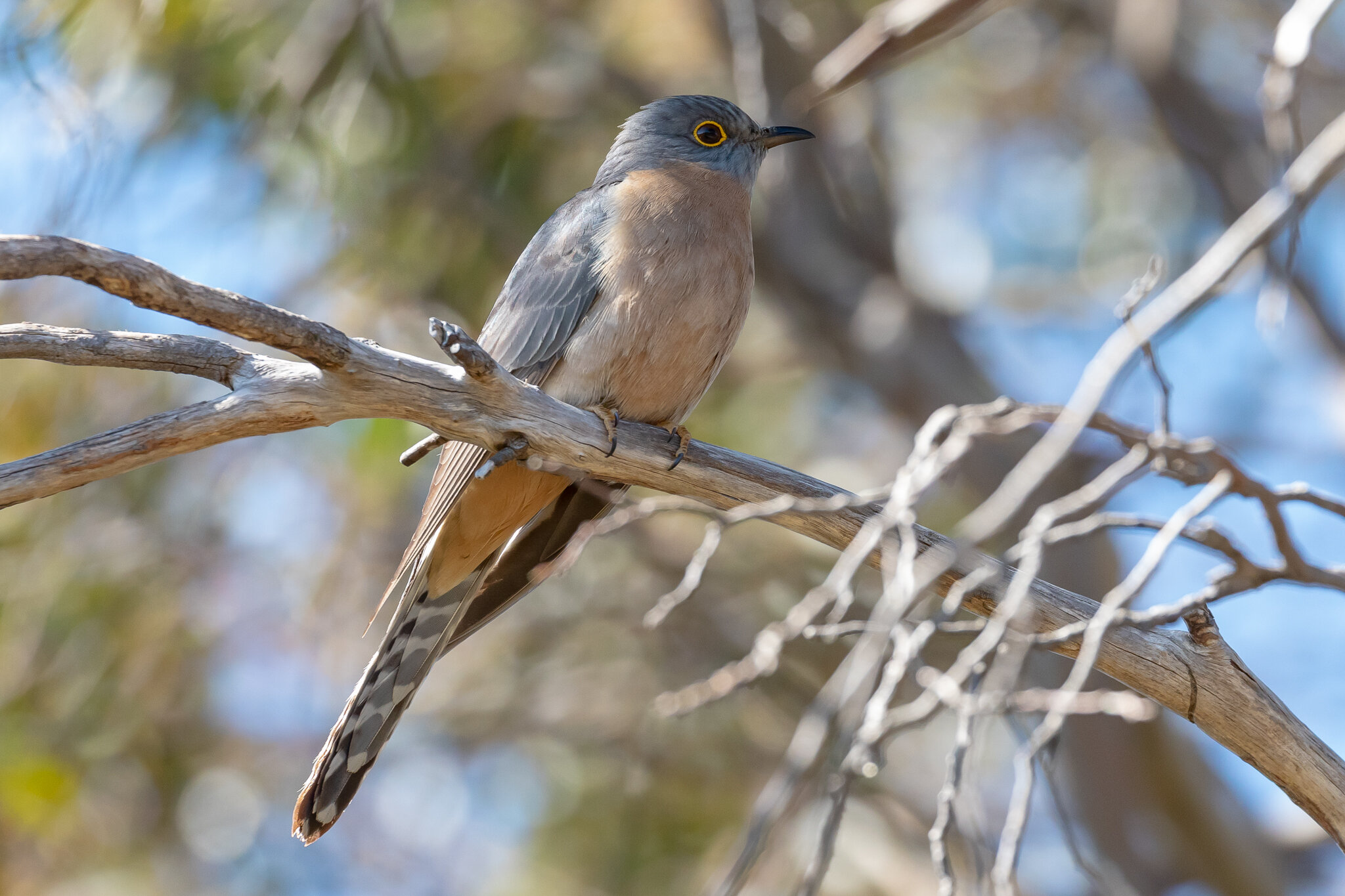 Fan-tailed Cuckoo at Barren Grounds on 18 October