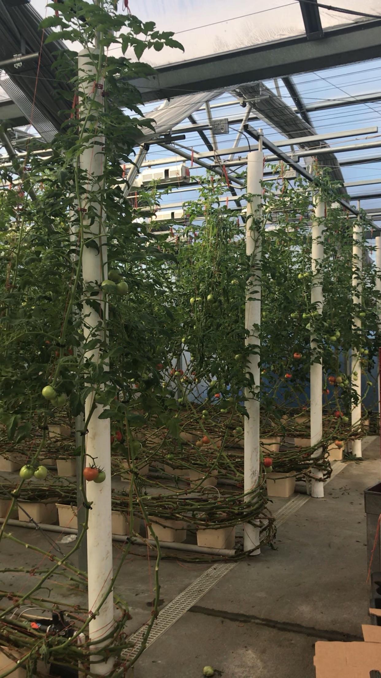 Hydroponic tomatos grown year-round!