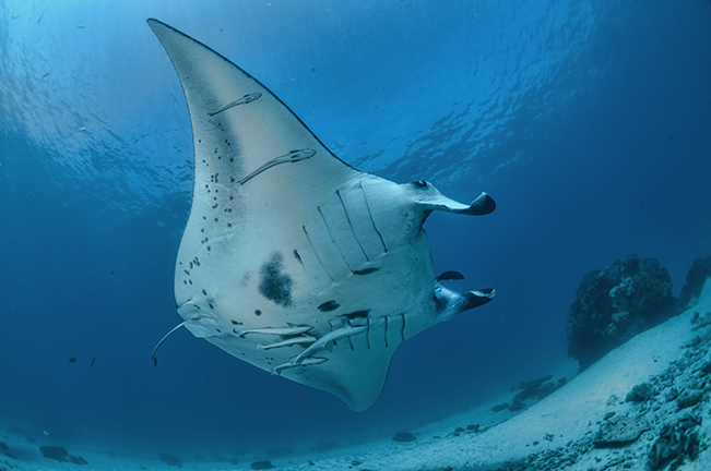 Manta Ray cleaning station off Gonubalabala Island