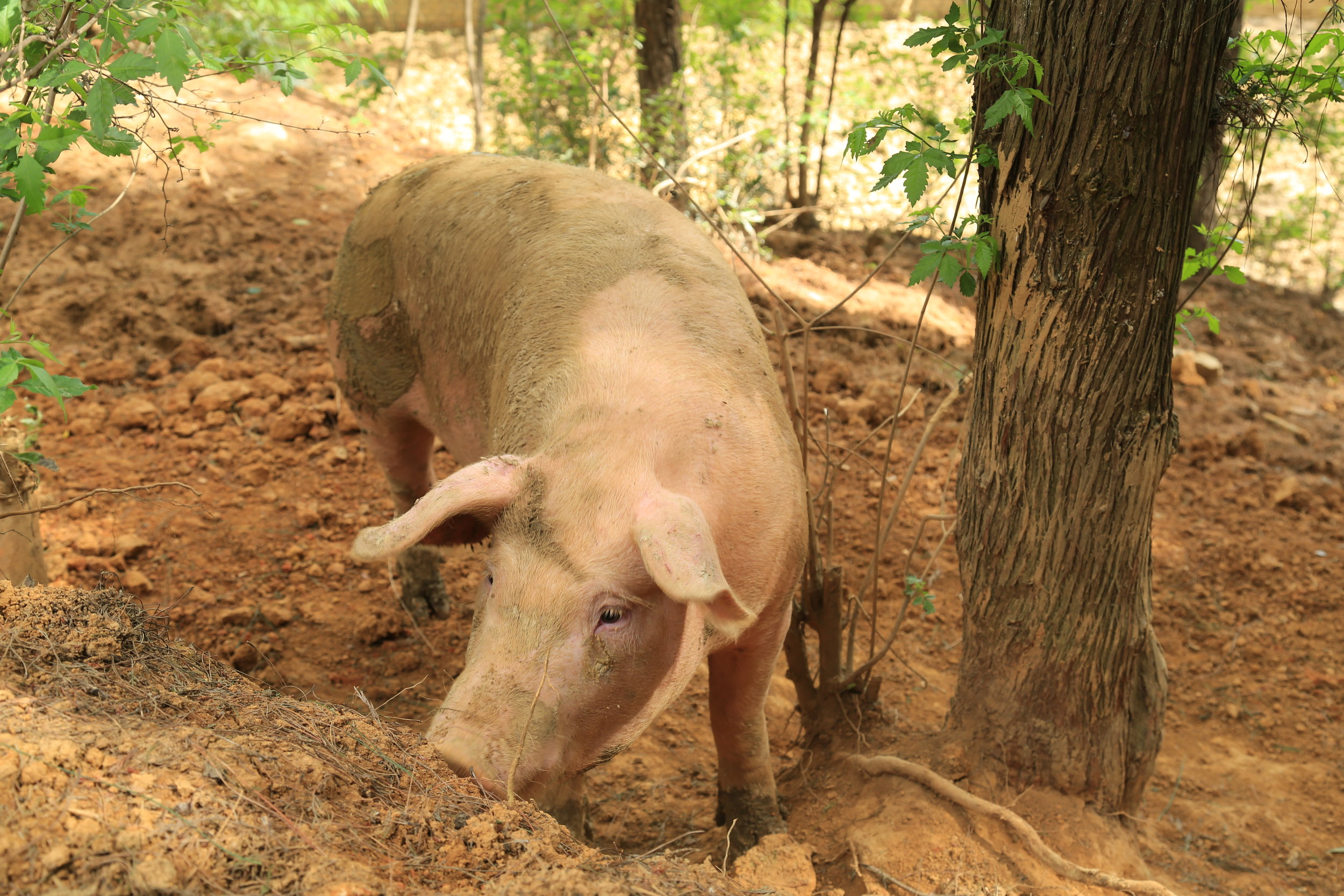 Our free-range pigs are very healthy and give us good quality meat.