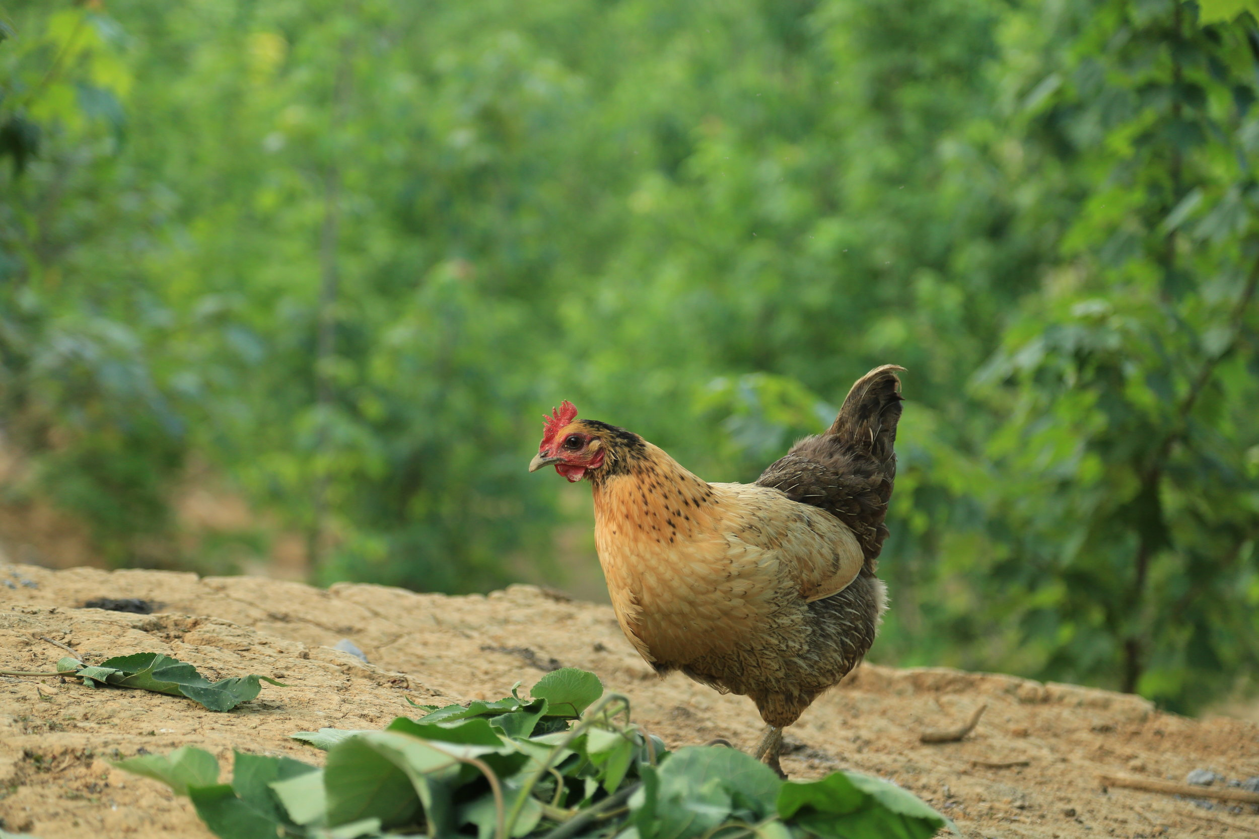 Chickens are forest animals, the forest is safe & comfortable for them.