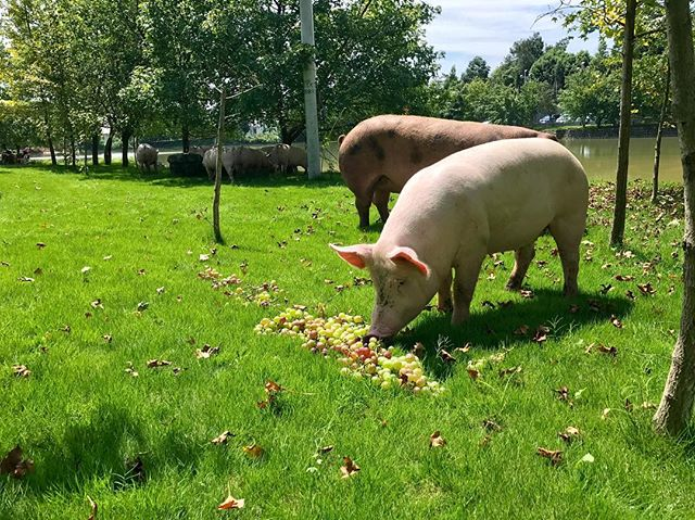 The free range pigs are fed with the fruit and vegetables from our farm. Like these pigs, they are extremely loving the fresh grapes 🍇. They enjoy their lovely delicious lunch in the sunshine ☀️