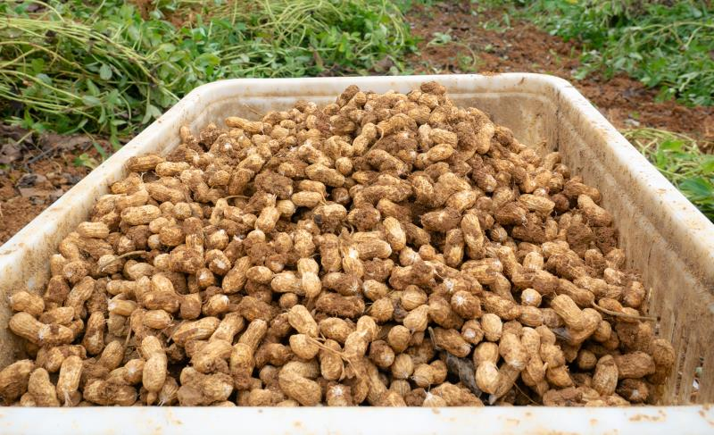 Actual harvested peanuts