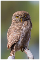 Asian Barred Owlet - Glaucidium cuculoides