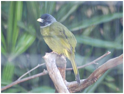 Collared Finchbill - Spizixos semitorques
