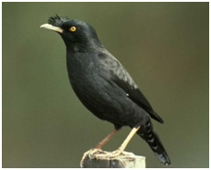 Crested Myna - Acridotheres cristatellus