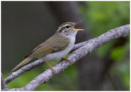 Eastern-crowned Warbler - Phylloscopus coronatus