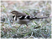 Forest Wagtail - Dendronanthus indicus