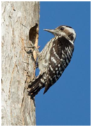 Grey-capped Pygmy Woodpecker - Yungipicus canicapillus