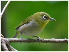 Japanese White-eye - Zosterops japonicus