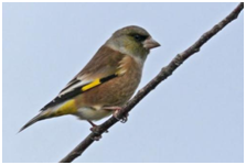 Oriental Greenfinch - Chloris sinica