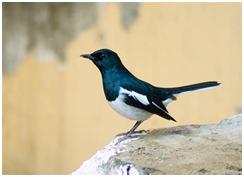 Oriental Magpie-Robin - Copsychus saularis