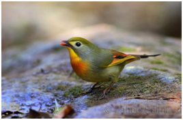 Red-billed Leiothrix - Leiothrix lutea
