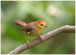 Rufous-capped Babbler - Cyanoderma ruficeps