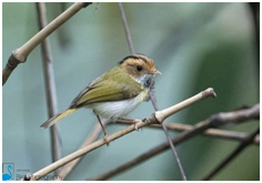 Rufous-faced Warbler - Abroscopus albogularis