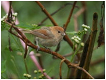 Vinous-throated Parrotbill – Sinosuthora webbiana