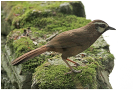 White-browed Laughingthrush – Ianthocincla sannio