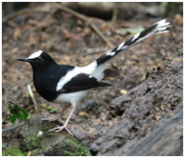 White-crowned Forktail - Enicurus leschenaulti