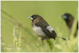 White-rumped Munia - Lonchura striata