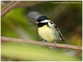 Yellow-bellied Tit - Periparus venustulus