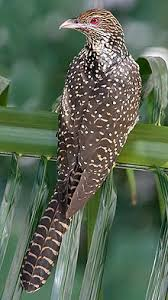 Asian Koel - Eudynamys scolopaceus