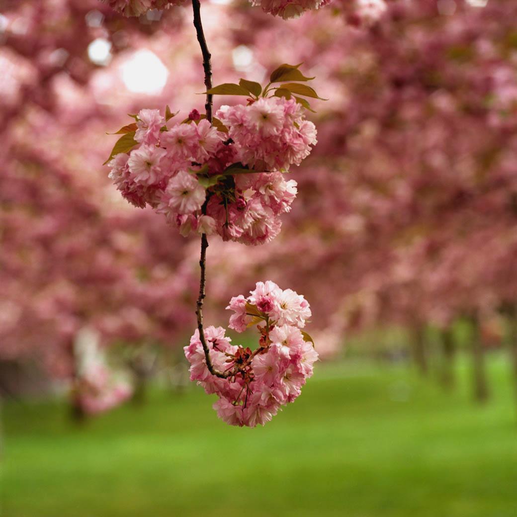 Blossom #14, 2005
