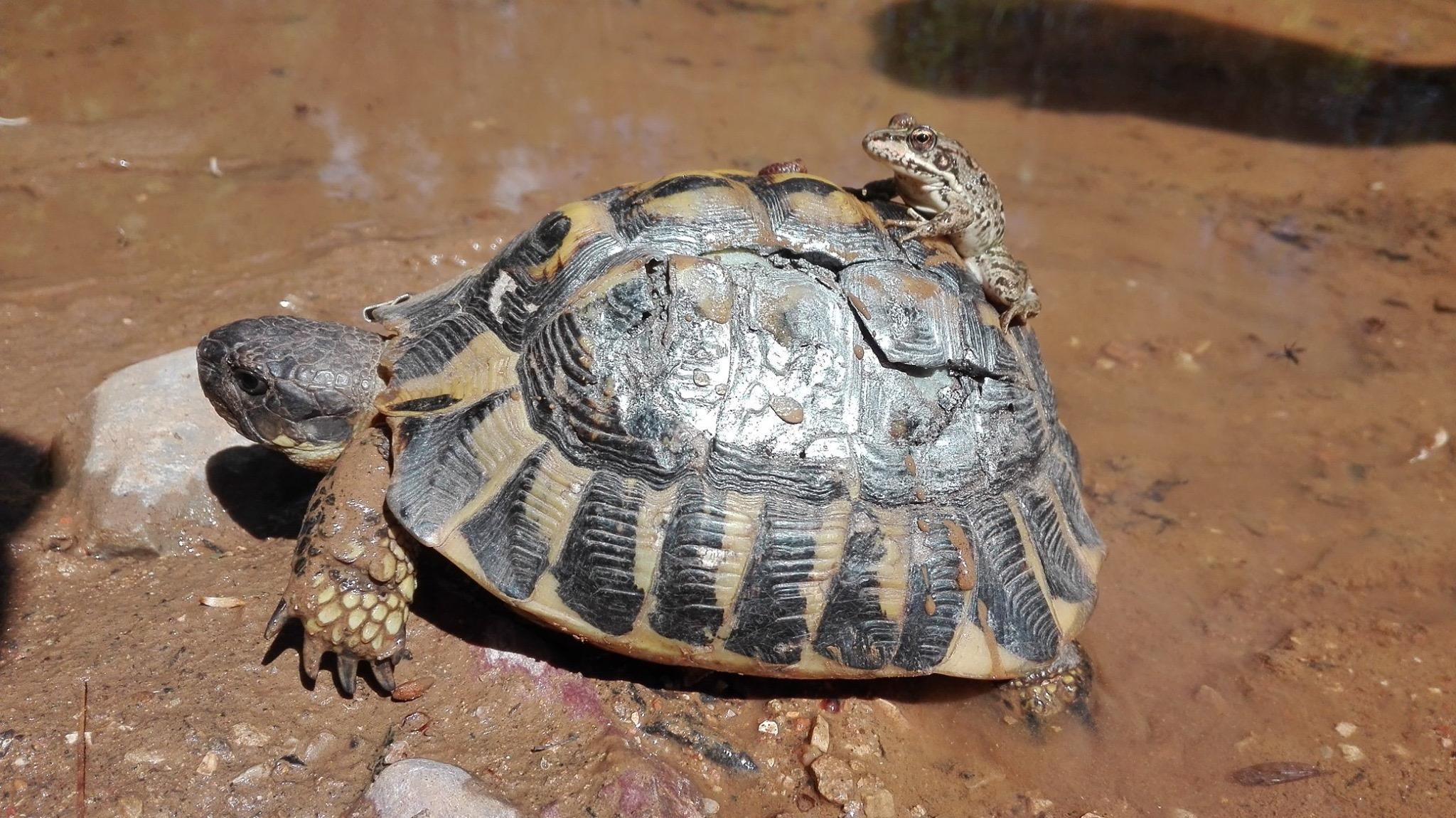 Des tortues soignées et relâchées.JPG