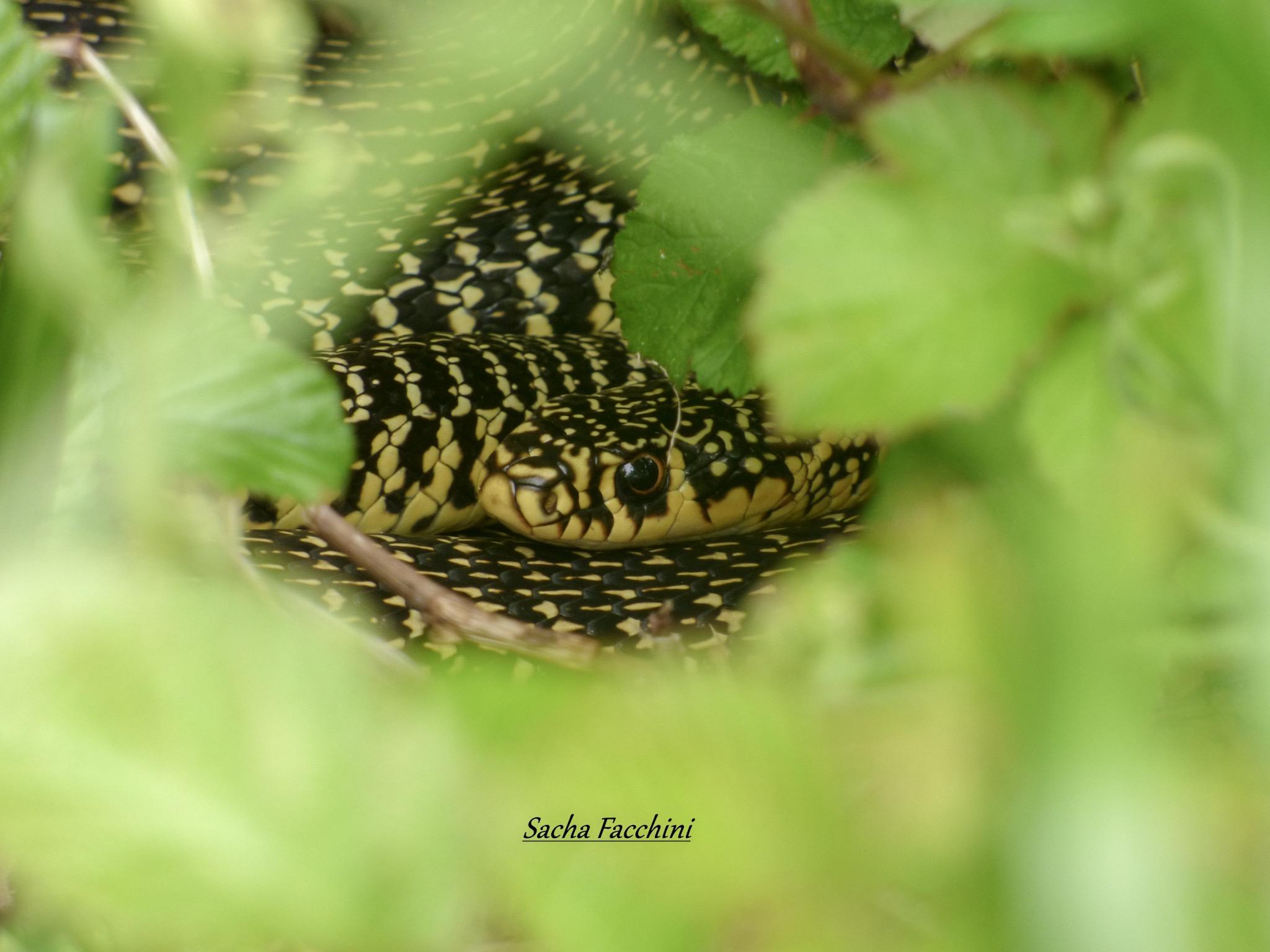 Adulte caché dans la végétation, Charente-Maritime (17) ©Sacha Facchini