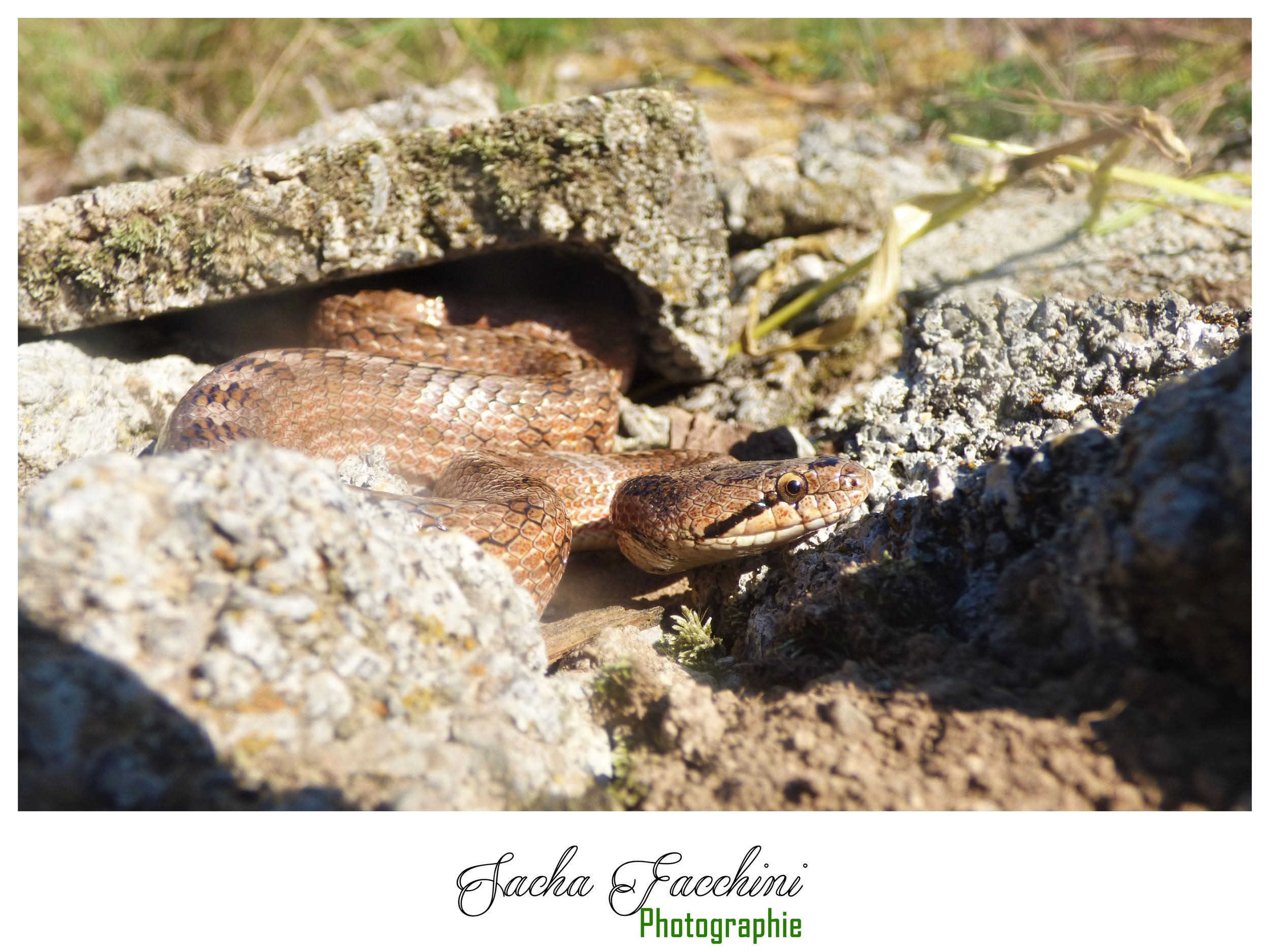 Adulte, Alpes-de-Haute-Provence (04), ©Sacha Facchini