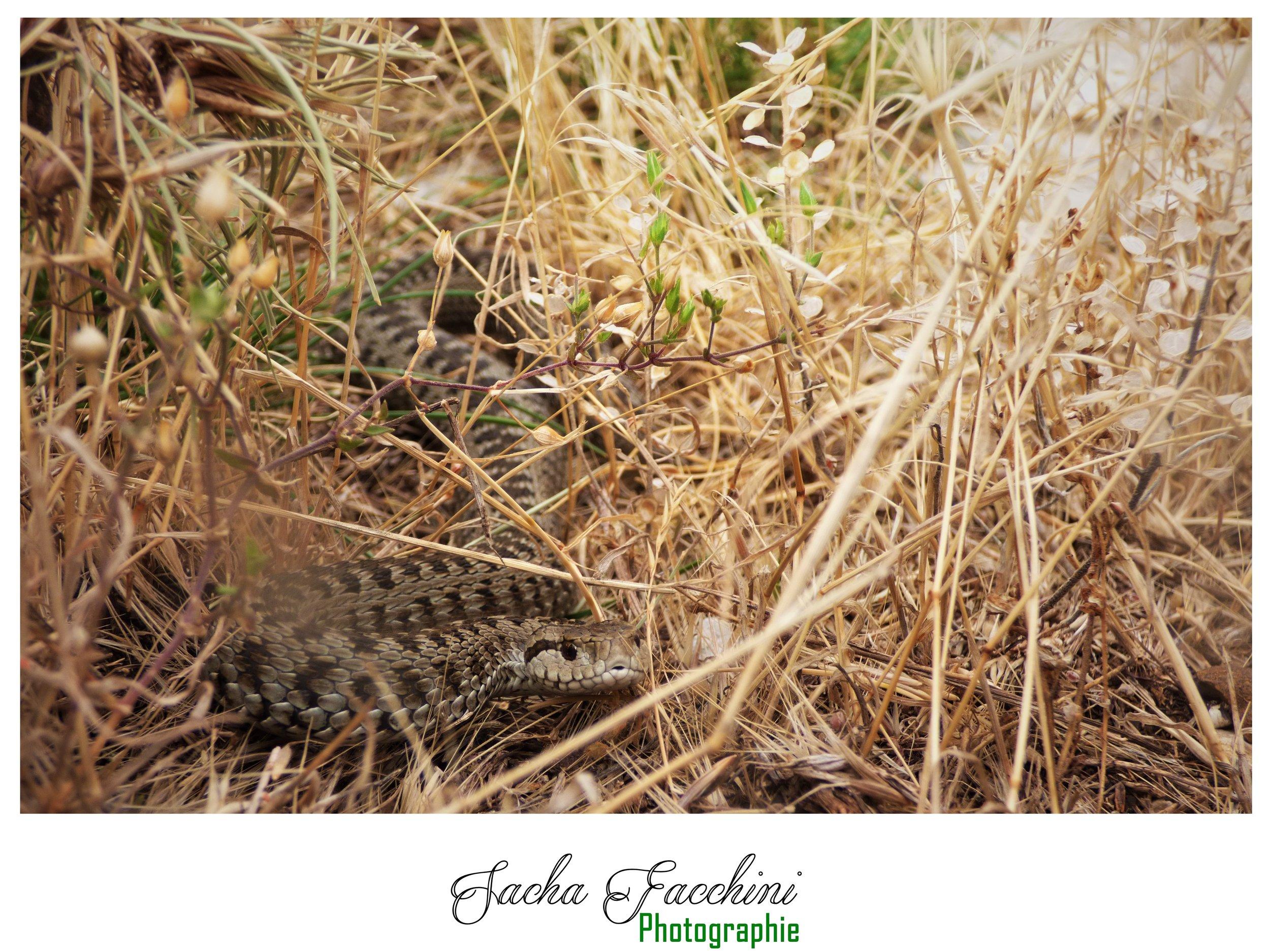 Adulte dans son habitat, Alpes-de-Haute-Provence (04) ©Sacha Facchini