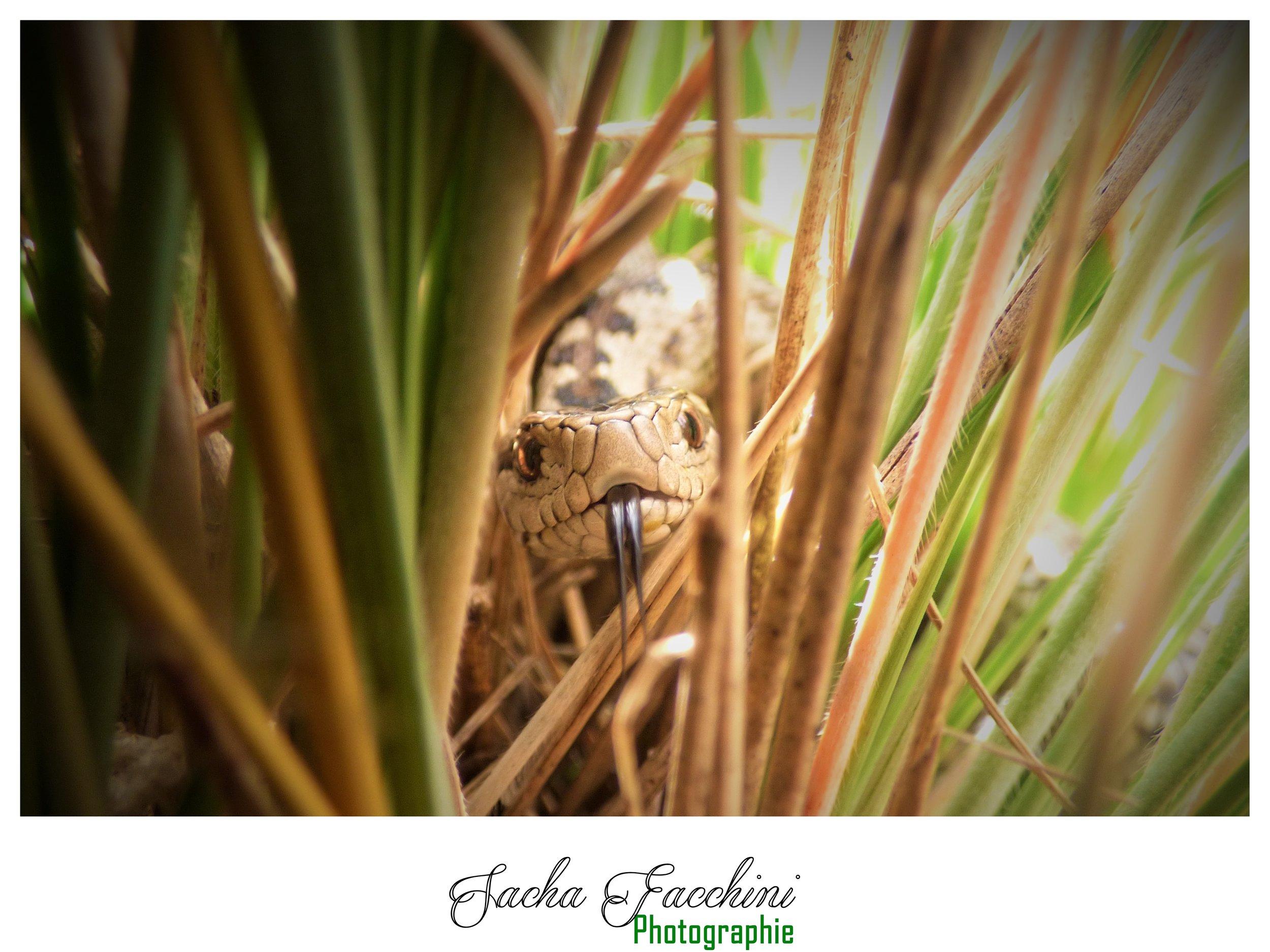 Adulte cachée dans les hautes herbes, Alpes-de-Haute-Provence (04) ©Sacha Facchini