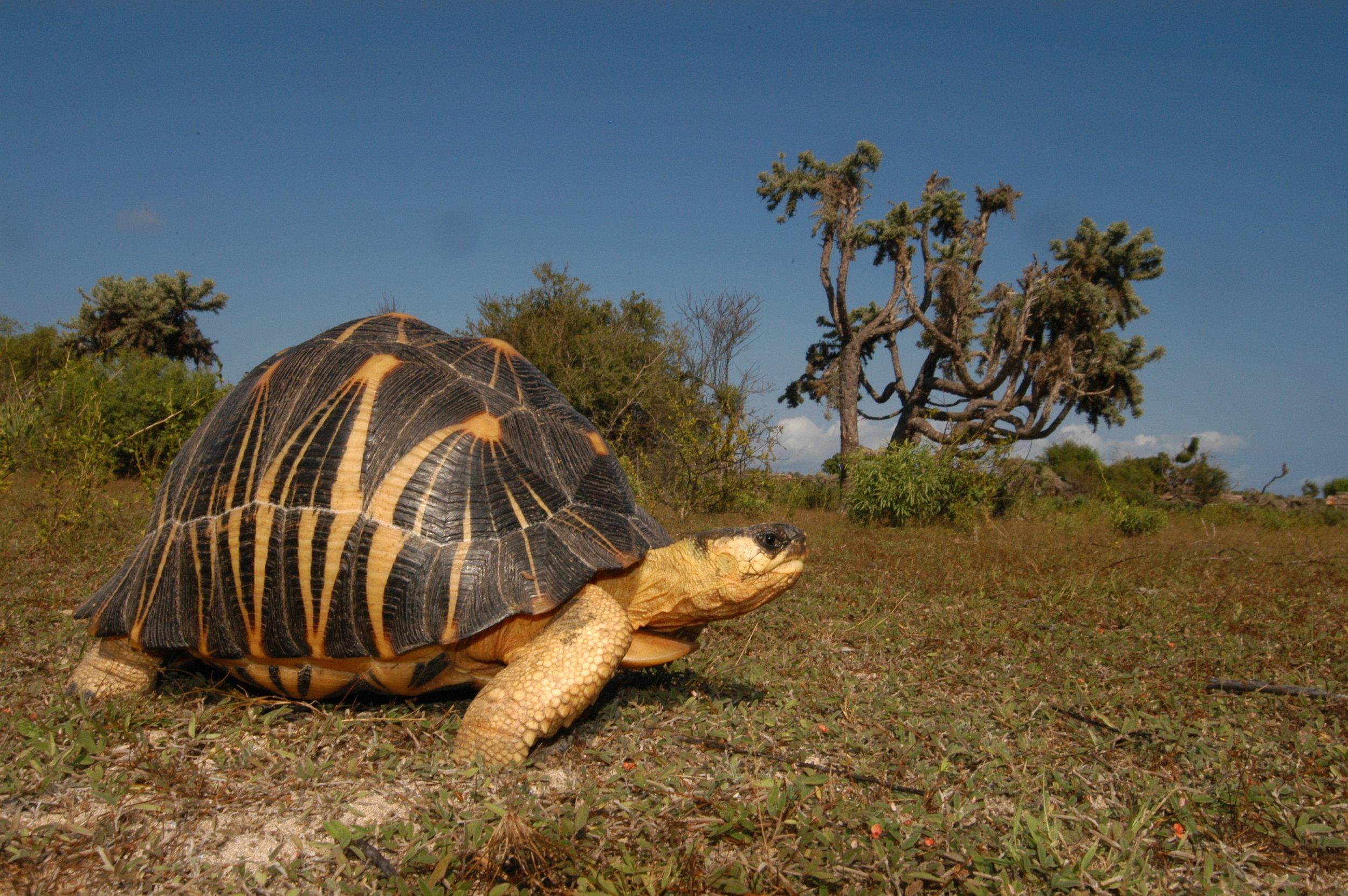 Adulte dans son habitat, Madagascar ©Franck Bonin