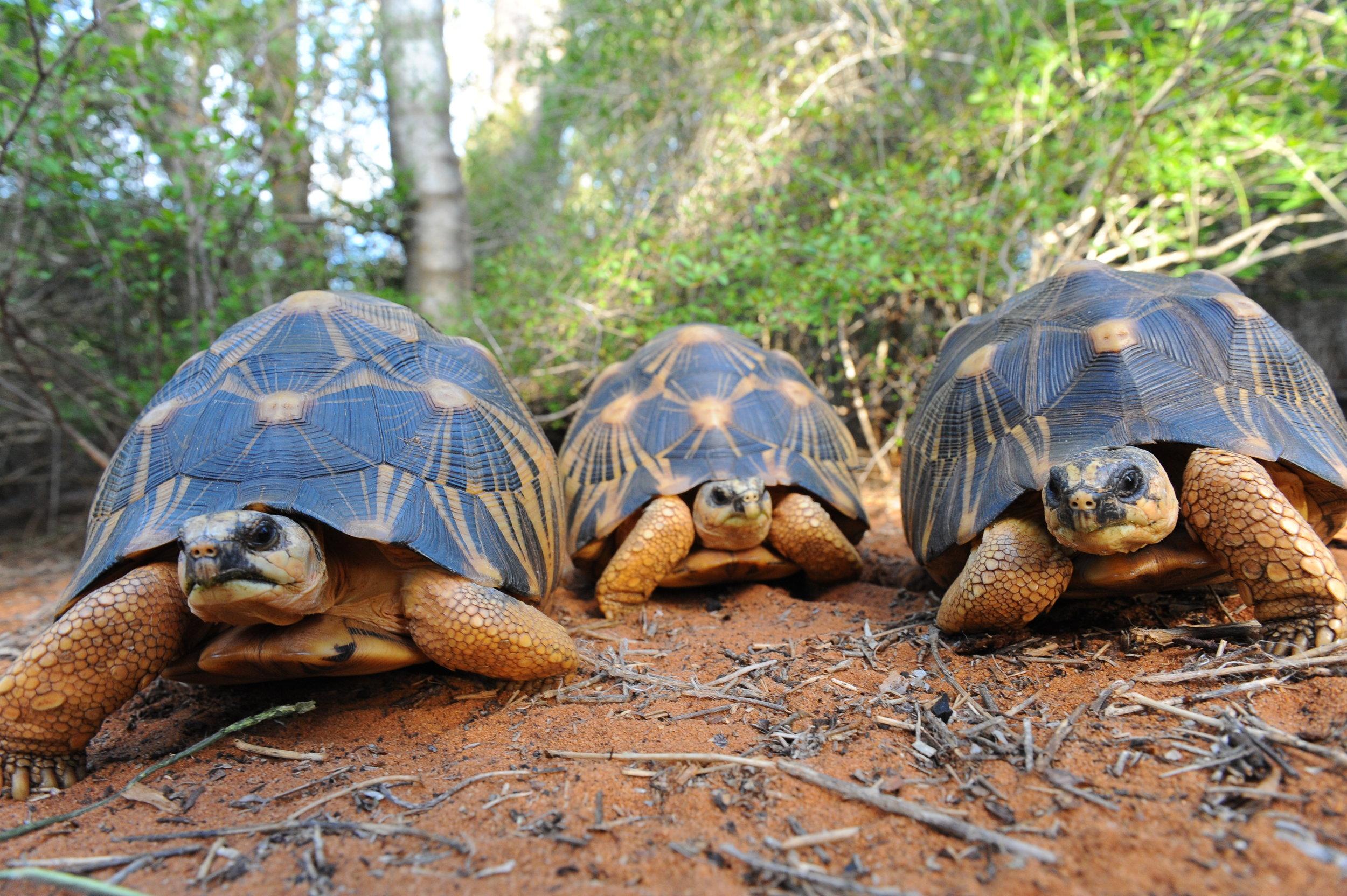 Adultes, Madagascar ©Franck Bonin