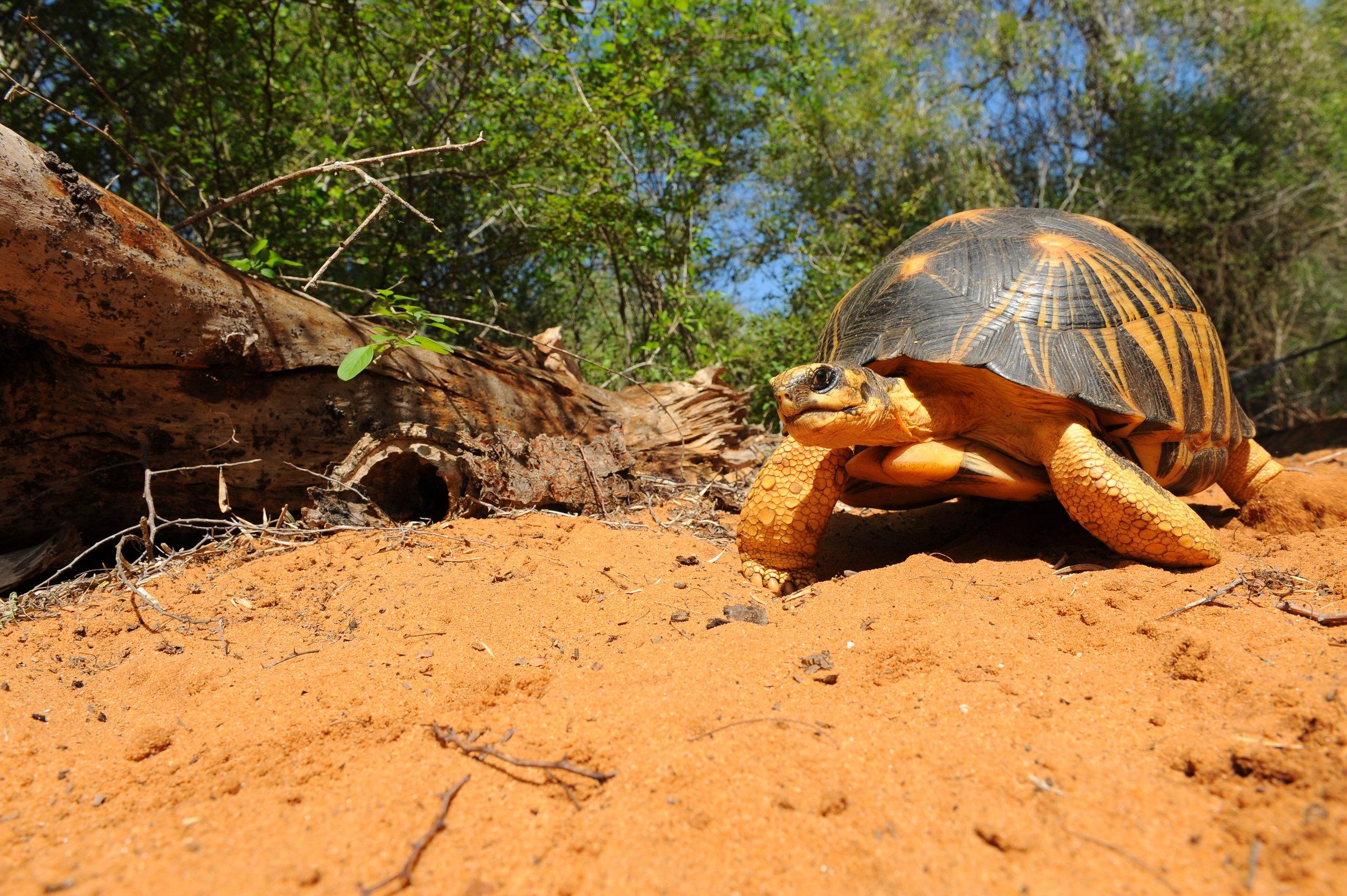 Adulte, Madagascar ©Franck Bonin