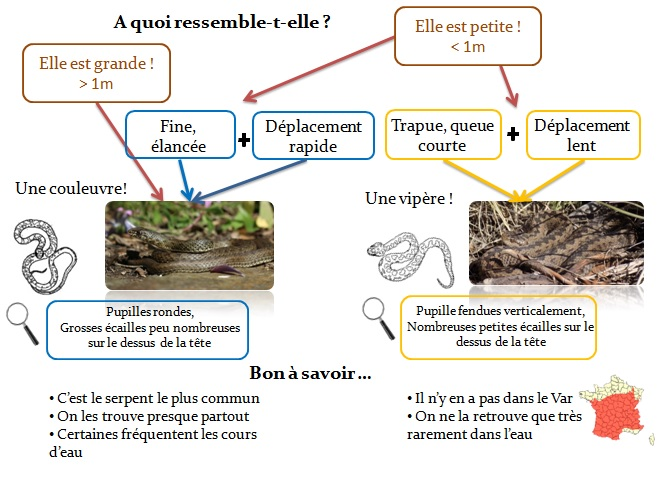 Arbre de décision pour identifier un serpent, ©Jean-Marie Ballouard & Laura Kouyoumdjian