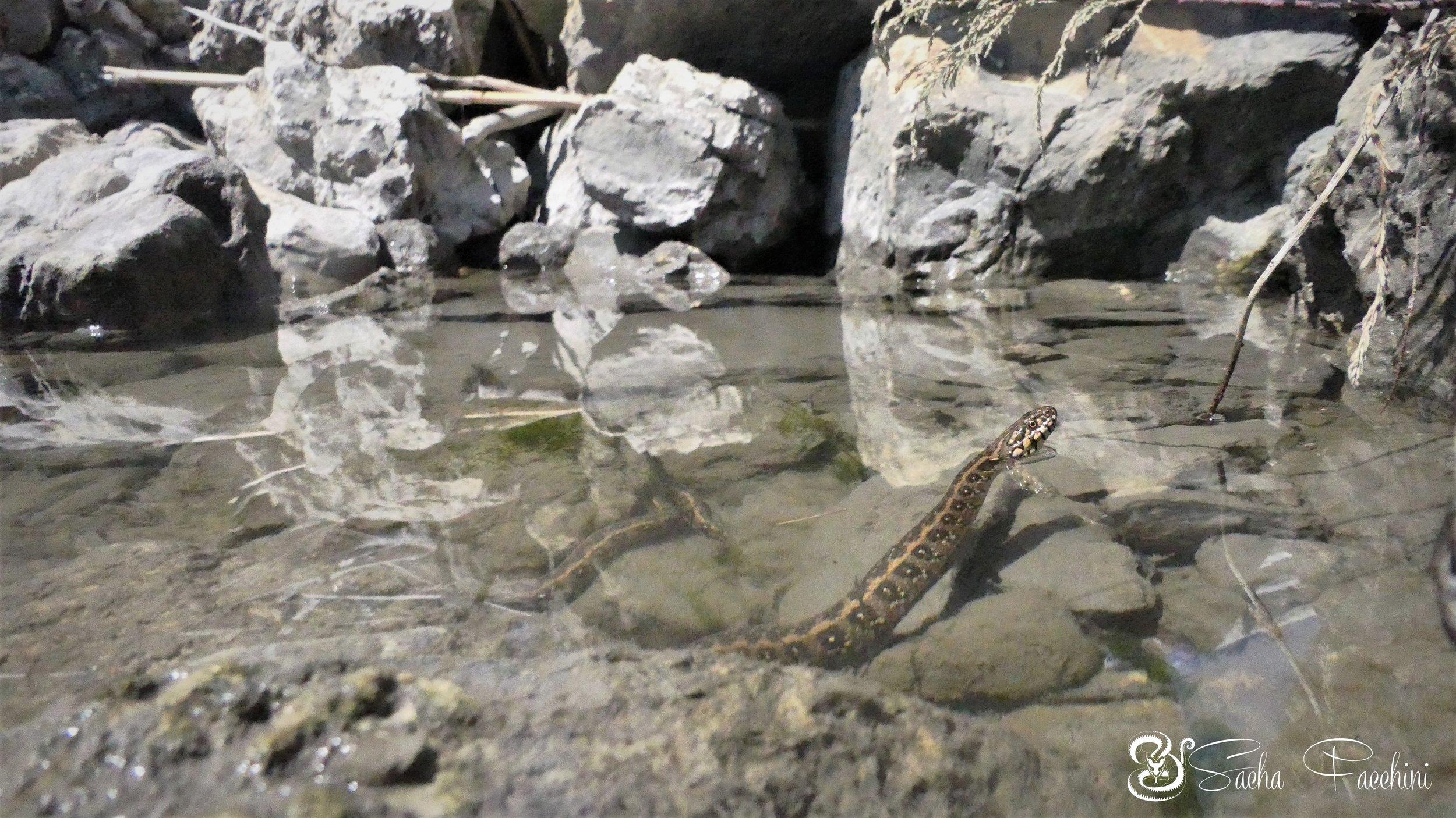 Couleuvre vipérine adulte dans son habitat, Bouches-du-Rhône (13) ©Sacha Facchini