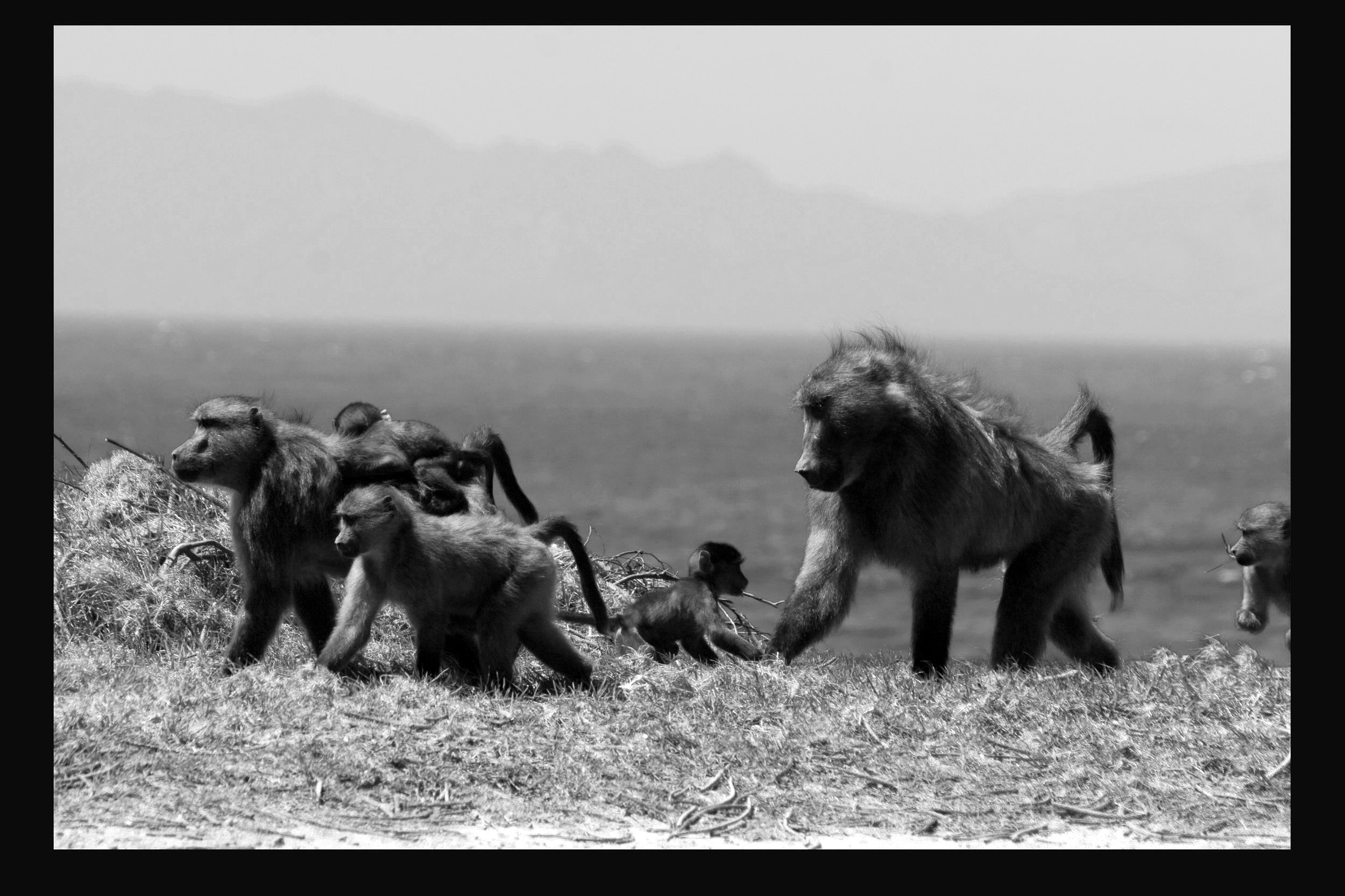 Baboon Family | J.SEE  South Africa