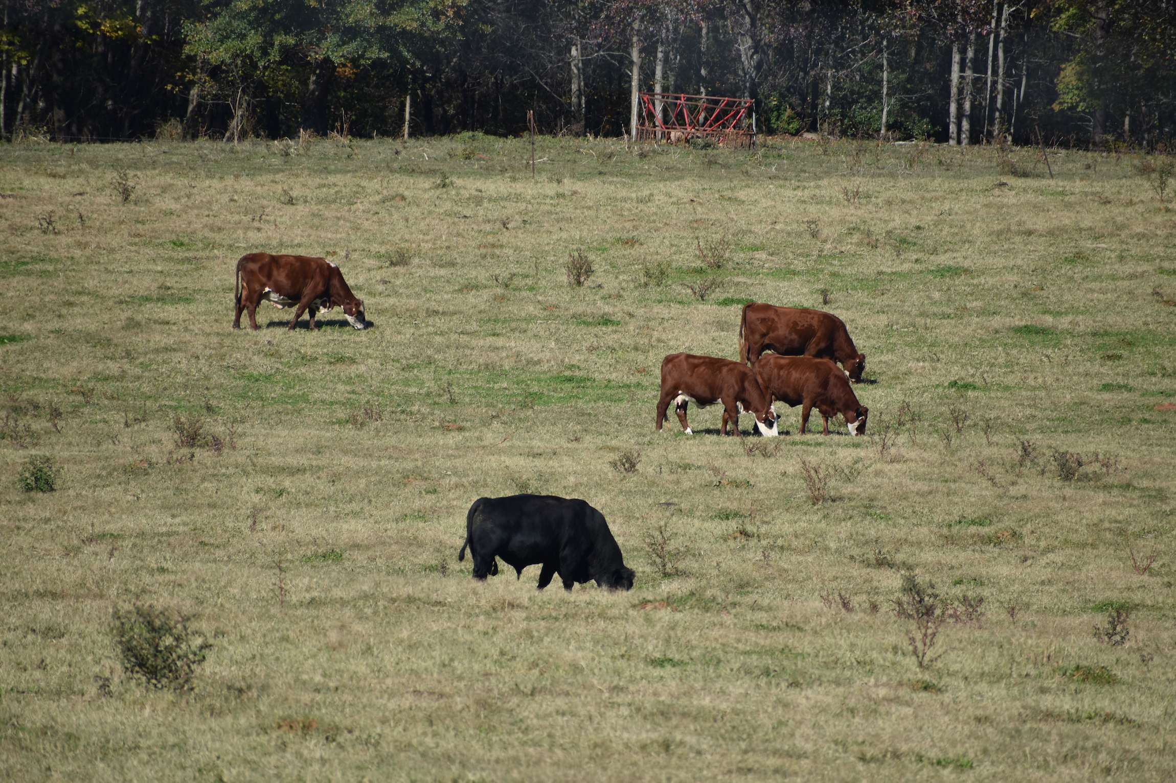 - Cows grazing at Wagon Wheel Ranch