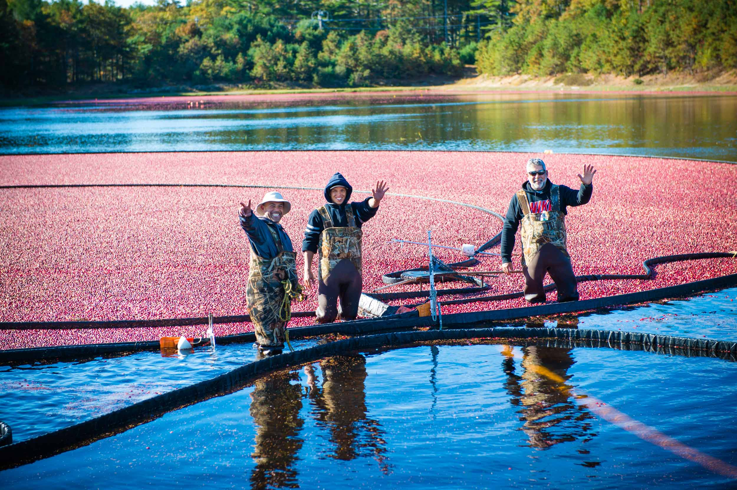 Maura Wayman Photography, Photography, Corporate Photography, stock, stock images, Massachusetts, Boston, Metro West, Wellesley, Cranberries, berries, berry, cranberry, red, red berries, farmer, harvest, field, machine, farming machine, water, Cape Cod, cranberry harvest, fall, rake,  boom, three workers,