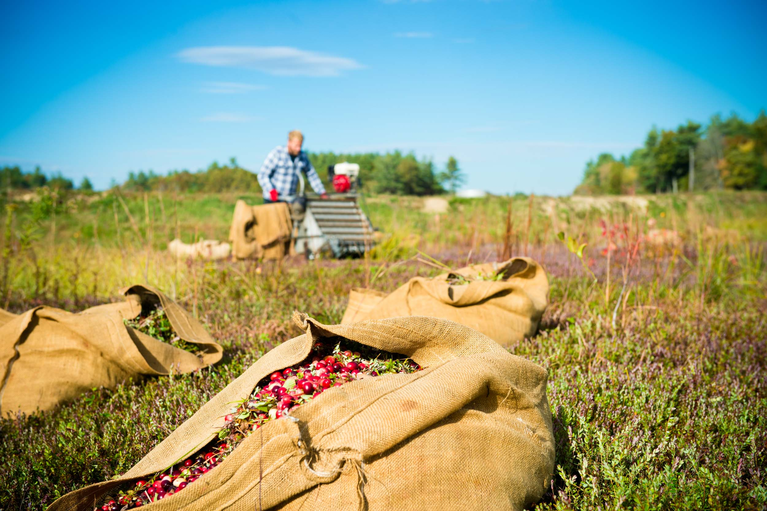 Maura Wayman Photography, Photography, Corporate Photography, stock, stock images, Massachusetts, Boston, Metro West, Wellesley, Cranberries, berries, berry, cranberry, red, red berries, farmer, harvest, field, machine, farming machine, water, Cape Cod, cranberry harvest, fall, dry harvest, dry picking, picking, burlap bag,
