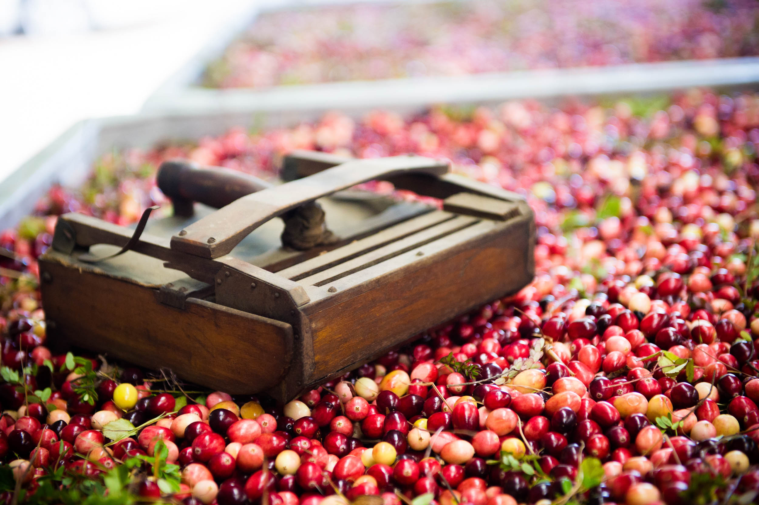 Maura Wayman Photography, Photography, Corporate Photography, stock, stock images, Massachusetts, Boston, Metro West, Wellesley, Cranberries, farmer, harvest, Cape Cod, Ocean Spray, farm house, antique home, close up, antique, still life, barn, crate of cranberries,